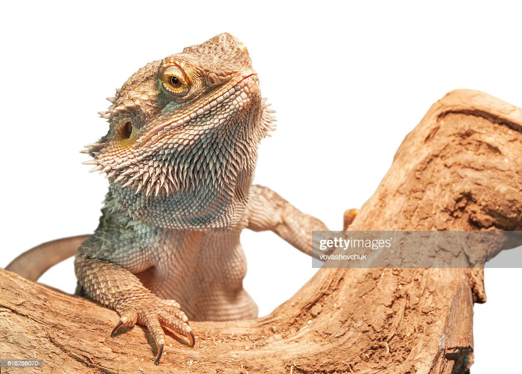 isolated agama lizard : Stock Photo