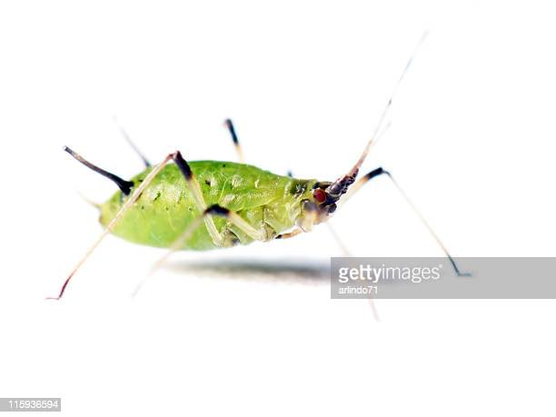 isolated aphid 05 - pest stock photos and pictures