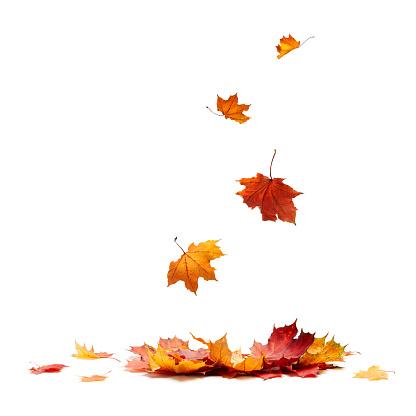 Isolated Autumn Leaves 1057719636