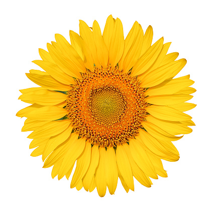 Isolated beautiful sunflower on white background with clipping path. 983815626