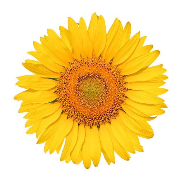 Isolated Beautiful Sunflower White Background - Fine Art prints