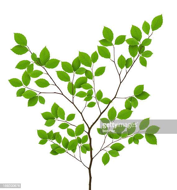 isolated beech leaves - branch stock pictures, royalty-free photos & images