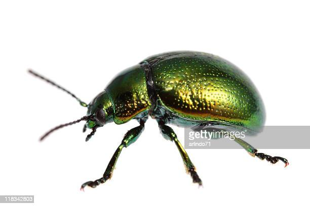 Isolated beetle (XXXL)