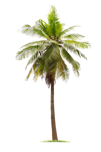 isolated big coconut tree on White Background. 1011337776