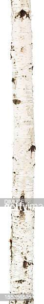Isolierte birch trunk