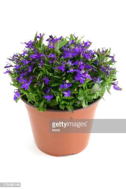 isolated blue Garden Lobelia (Lobelia erinus)