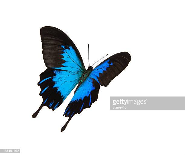 Isolated blue mountain swallowtail flying