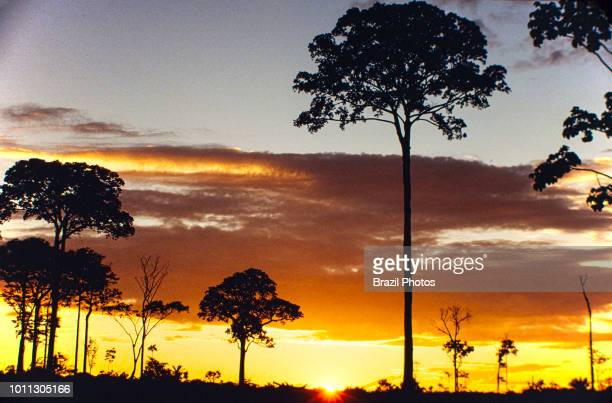 Isolated Brazil nut tree sentenced to death after Amazon rainforest clearance near Rio Branco city Acre State Brazil Amazon deforestation