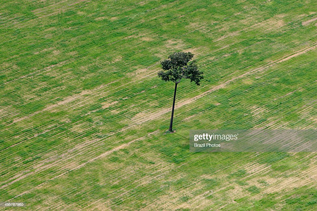 Isolated Brazil nut tree sentenced to death inside soy... : News Photo