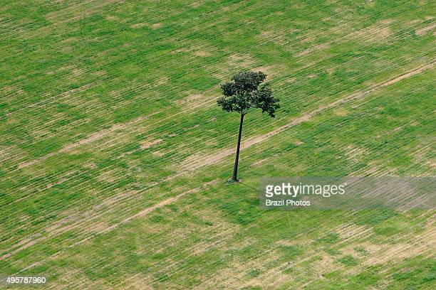 Isolated Brazil nut tree sentenced to death inside soy plantation in Amazon rainforest near Santarem Para State Brazil Amazon deforestation for the...