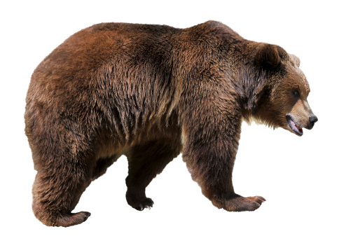 Isolated brown bear 452773537