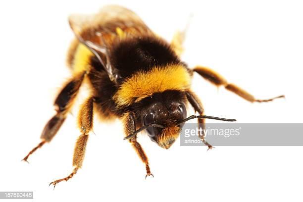 Isolated Bumblebee (XXXL)