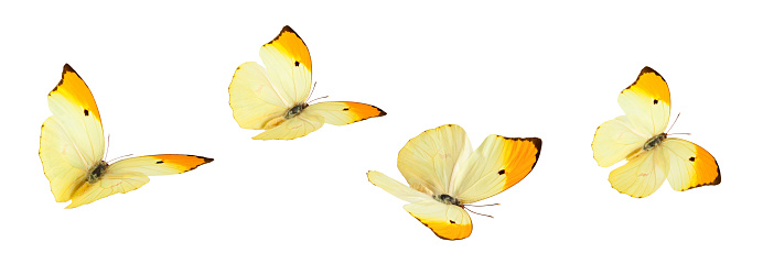 Isolated Butterflies. 174793469