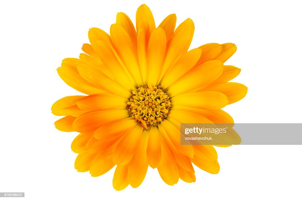 isolated calendula flower : Foto de stock