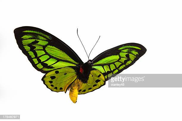 isolated close-up photograph of a green butterfly in flight - vlinder stockfoto's en -beelden