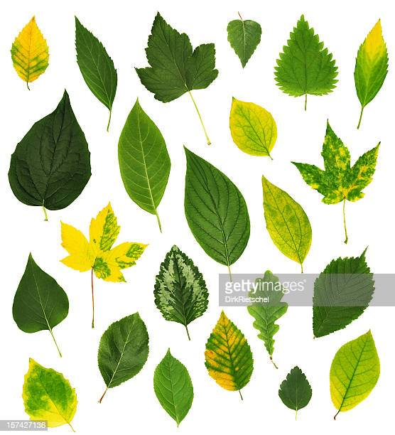 Isolated collection of leaves.