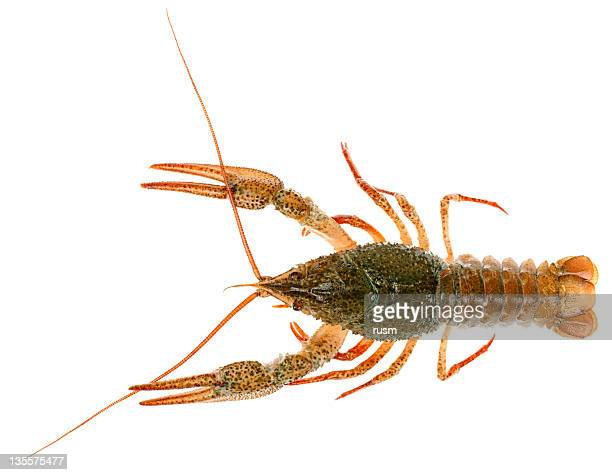 Isolated Crayfish on white background