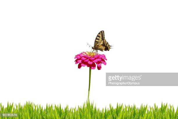 Isolated daisy with butterfly XXL