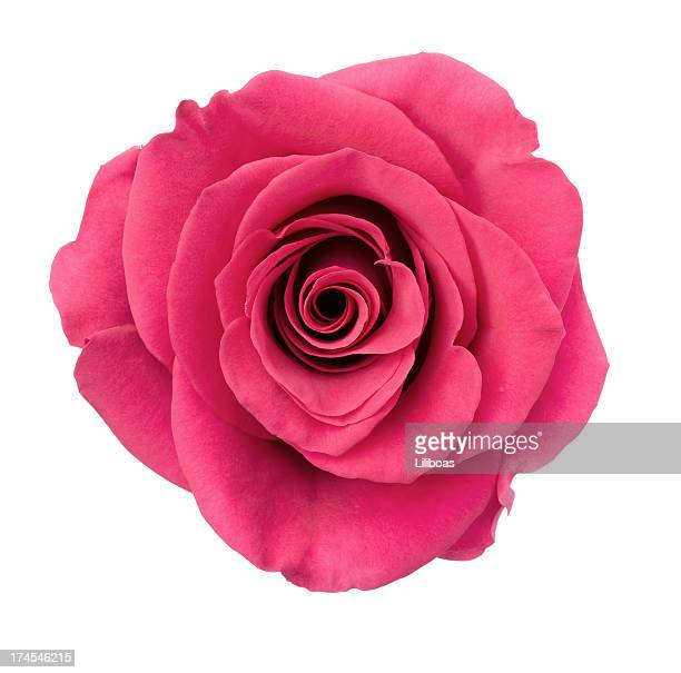 Isolated Dark Pink Rose