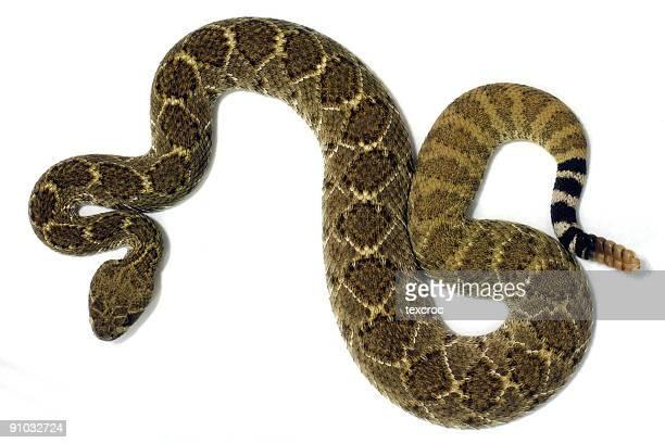 Isolated Diamondback Rattlesnake