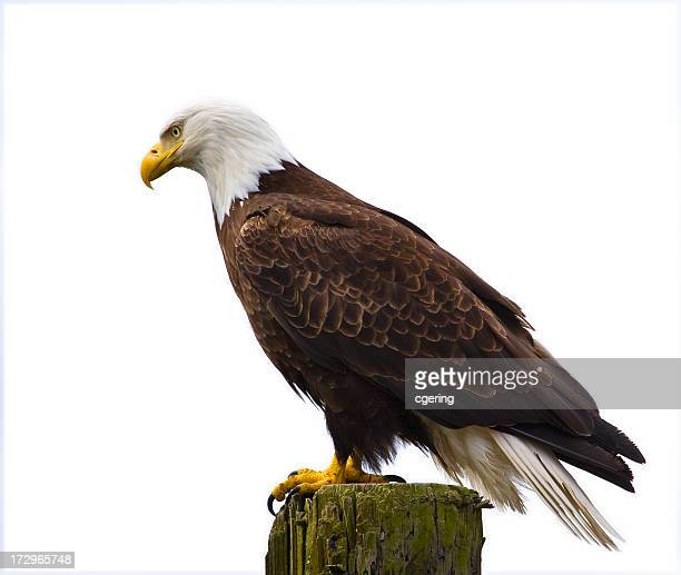 isolated eagle - perching stock photos and pictures