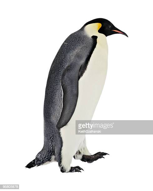 Isolierte Kaiserpinguin-Walking