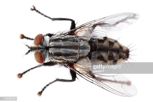 Isolated flesh fly (XXXL)