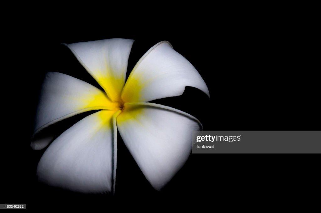 isolated fresh plumeria on black background : Stock Photo