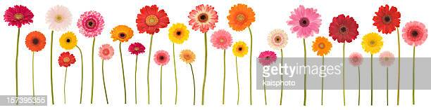 isolated gerbera border (xxl) - gerbera daisy stock pictures, royalty-free photos & images