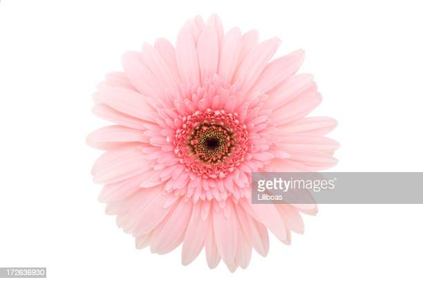 isolated gerbera daisy (xl) - gerbera stock pictures, royalty-free photos & images