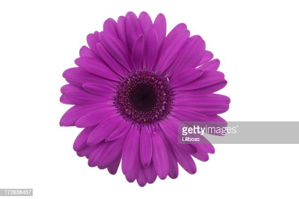 isolated gerbera daisy (xl) - gerbera daisy stock pictures, royalty-free photos & images