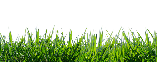 isolated grass on white background 1147126607
