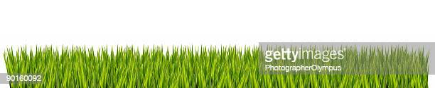 Isolated grass XL