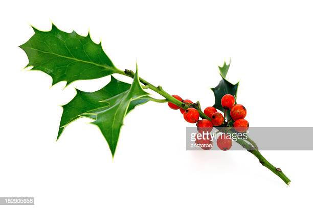 isolated holly twig - twijg stockfoto's en -beelden