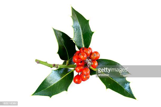 Isolated Holly Twig