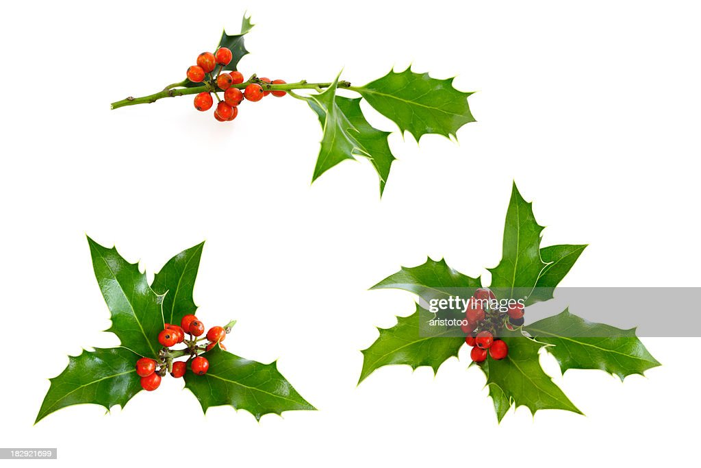 Isolated Holly Twig Selection : Stock Photo