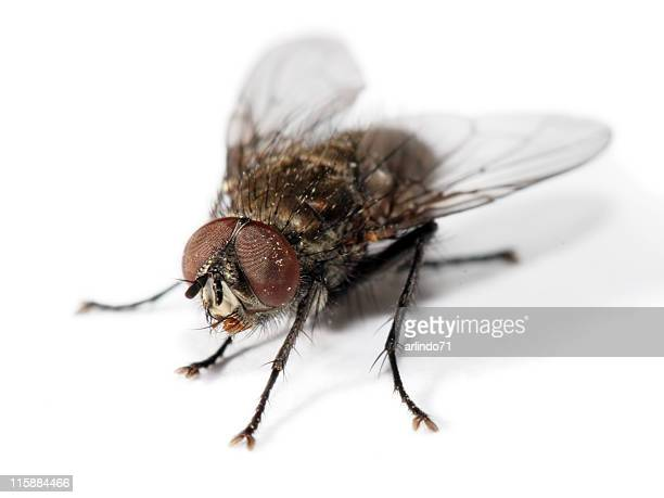 isolated homefly 4 - housefly stock pictures, royalty-free photos & images