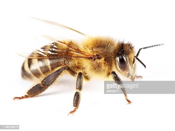 isolado honeybee 01 - um animal - fotografias e filmes do acervo