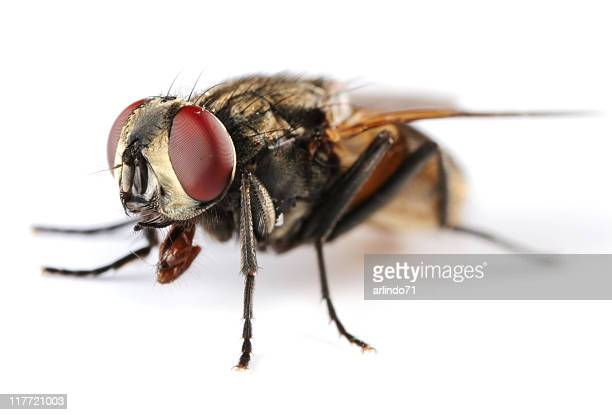 isolated housefly - housefly stock pictures, royalty-free photos & images
