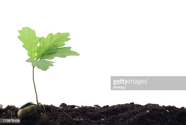 Isolated image of a oak tree sprout
