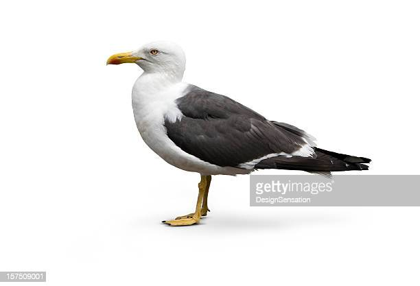 isolated image of larus argentatus - herring gull - snavel stockfoto's en -beelden