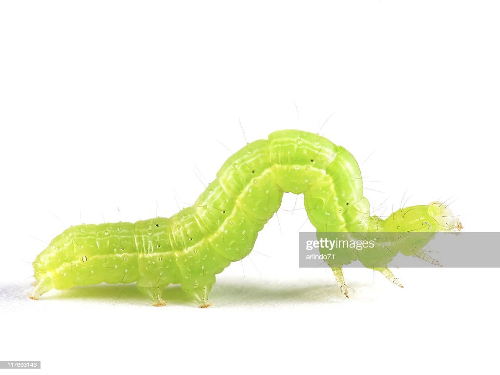 Isolated Inchworm : Stock Photo