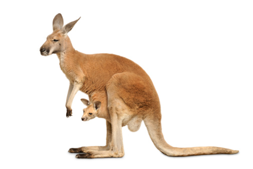 Isolated kangaroo with cute Joey 105097179