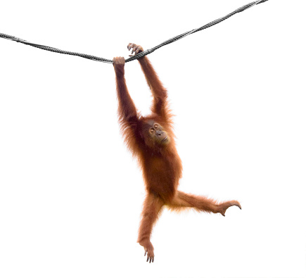 Isolated little orangutan in a funny pose 961384878