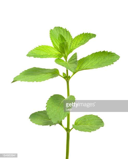isolated mint - twijg stockfoto's en -beelden
