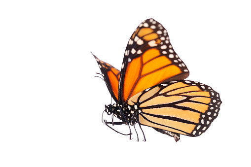 Isolated Monarch Butterfly 184850894