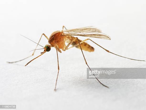 Isolated mosquito 02