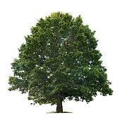 isolated oak tree on a white background