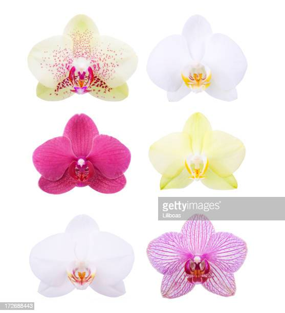 isolated orchids - orchid flower stock pictures, royalty-free photos & images