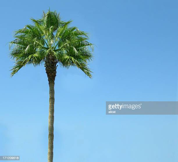 Isolated Palm tree against clear blue sky